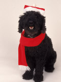 Poodle Wearing Scarf and Santa Hat Photographic Print by Jeff Dunn