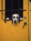 Dalmatian Looking Through Window Photographic Print by Michele Burgess