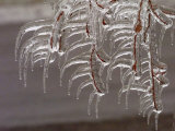 Wind-Blown Icicles Cling to Limbs after an Ice Storm Left a 2-Inch-Thick Coating Photographic Print