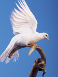 Dove Perched on Stick Photographic Print by Jim McGuire