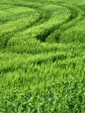 Track in Green Spring Wheat Field, Palouse, Washington State, USA Photographic Print by Terry Eggers