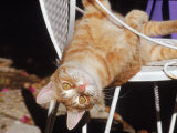 Tabby Cat Sitting with Head Hanging Upside Down Photographic Print by Francie Manning