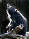 A Sloth Bear Enjoys the Morning Sun and a Passing Group of Tiny Midge Insects Photographic Print