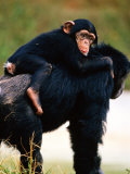 Baby Chimpanzee Lying on Mother's Back (Pan Satyrus), Miami, U.S.A. Fotografisk tryk af Mark Newman