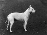 Champion Faultless an Early Example of the Bull Terrier Breed Stampa fotografica di Thomas Fall