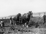 Potato Lifting Using Horses and Plough Near Rickmansworth Hertfordshire Photographic Print by Staniland Pugh