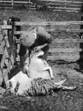 Sheep Shearing in Scotland at the End of May Photographie par Fred Musto