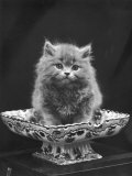 This Cute Little Blue Persian Kitten Sits Innocently in a Large China Dish Photographie par Thomas Fall