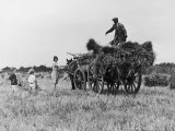 Three Children Helping Their Farmer Father to Bring in the Hay by Horse and Cart Photographic Print by Staniland Pugh