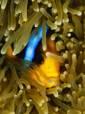 An Orange-Fin Anemonefish Nestled in the Tentacles of a Sea Anemone Photographic Print by Tim Laman