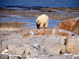 Polar Bear at Hudson Bay Photographic Print