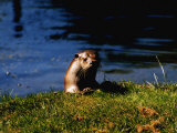 English Otter at an Otter Sanctury in Suffolk Photographic Print