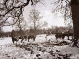 Cattle Pictured in the Snow at Shenley, Hertfordshire, January 1935 Photographic Print