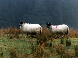 Two Sheep Grazing on a Hillside, 1995 Photographic Print