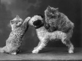 These Two Kittens Have Fun with a Toy Dog Photographic Print by Thomas Fall