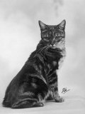 Manx Cat Sitting Down So You Cannot Really See That It Does Not Have a Tail Photographic Print by Thomas Fall