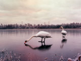 Swans on a Frozen Pond, January 2001 Photographic Print