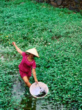 Woman Collecting Snails in Moat Around Imperial Palace, Hue, Vietnam Photographic Print by Anthony Plummer