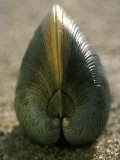 A Close View of a Clam Set on Its Edge in Sand Photographic Print by Darlyne A. Murawski