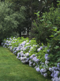 Hydrangeas in Bloom Along a Landscaped Yard Photographic Print by Darlyne A. Murawski