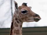 Baby Giraffe Catriona at Blair Drummond Safari Park, April 1973 Photographic Print