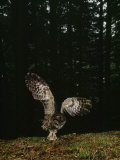 Swooping for a Snack, a Northern Spotted Owl (Strix Occidentalis) Seizes a Mouse Photographic Print by James P. Blair