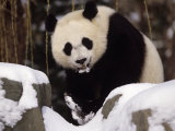 National Zoo Pandas in Snow Photographic Print by Taylor S. Kennedy