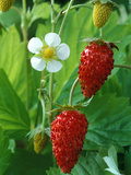 Fragaria Vesca (Alexandra), Strawberry, Close-up of Fruit Photographie par Chris Burrows