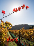 Te Kairanga Vineyard, Martinborough, Wairarapa, North Island, New Zealand Photographic Print by David Wall