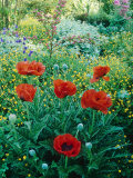 Papaver Orientale, Alchemilla Mollis Aquilegia, Ranunculus Arvensis Cae Hir, Wales Photographie par Mark Bolton