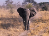 Elephant, Okavango Delta, Botswana Photographic Print by Gavriel Jecan