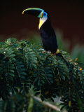 Channel Bill Toucan (Ramphastos Vitellinus) in Profile, Colombia Photographic Print by Alfredo Maiquez