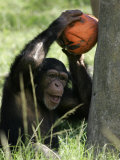 A Young Chimpanzee Attempts to Crack a Coconut Colored Orange to Look Like a Pumpkin Photographic Print by Wilfredo Lee