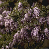 Wisteria Detail of Flowers and Foliage Photographic Print by Michele Lamontagne
