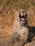 Panther, Okavango Delta, Botswana Photographic Print by Pete Oxford