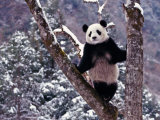 Giant Panda Standing on Tree, Wolong, Sichuan, China Fotografiskt tryck av Keren Su