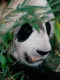 Panda, Wolong, Sichuan, China Photographic Print by Keren Su