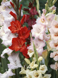 Gladiolus, Mixed Variety Close-up of Flowering Stems Stampa fotografica di Michele Lamontagne
