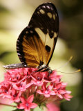 A Butterfly Rests on a Flower at the America Museum of Natural History Butterfly Conservatory Photographic Print by Jeff Christensen
