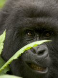 Mountain Gorilla (Gorilla Gorilla Berengei)Showing Teeth, with Leaves Photographie par Roy Toft