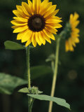 A Sunflower on a Sunny Summer Day Photographic Print by Taylor S. Kennedy