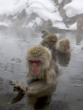 Snow Monkeys (Macaca Fuscata) Bathing in Natural Hot Springs Fotografisk tryk af Roy Toft