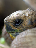 Profile of Giant Tortoise, La Galapaguera, Ecuador Photographic Print by Paul Kennedy