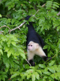 White Throated Capuchin Monkey Hanging from a Branch, Panama City, Panama Fotografiskt tryck av Paul Kennedy