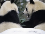 National Zoo Pandas Eating Bamboon in the Snow Photographic Print by Taylor S. Kennedy