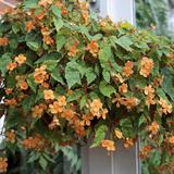 Begonia Sutherlandii Trailing Plant in Hanging Basket Conservatory Fotografisk tryk af Christopher Fairweather