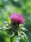 Silybum Marianum (Holy Thistle) Photographic Print by Ruth Brown