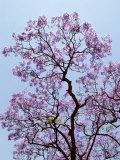 Jacaranda Trees Blooming in City Park, Buenos Aires, Argentina Photographic Print by Michele Molinari