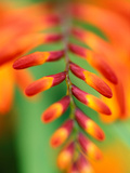 Crocosmia &quot;Venus&quot; Close-up of Red/Orange Flower Photographie par Lynn Keddie