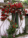 Bright Red Rose Climbing Over Whitewashed Cottage, Crete Stampa fotografica di Erika Craddock